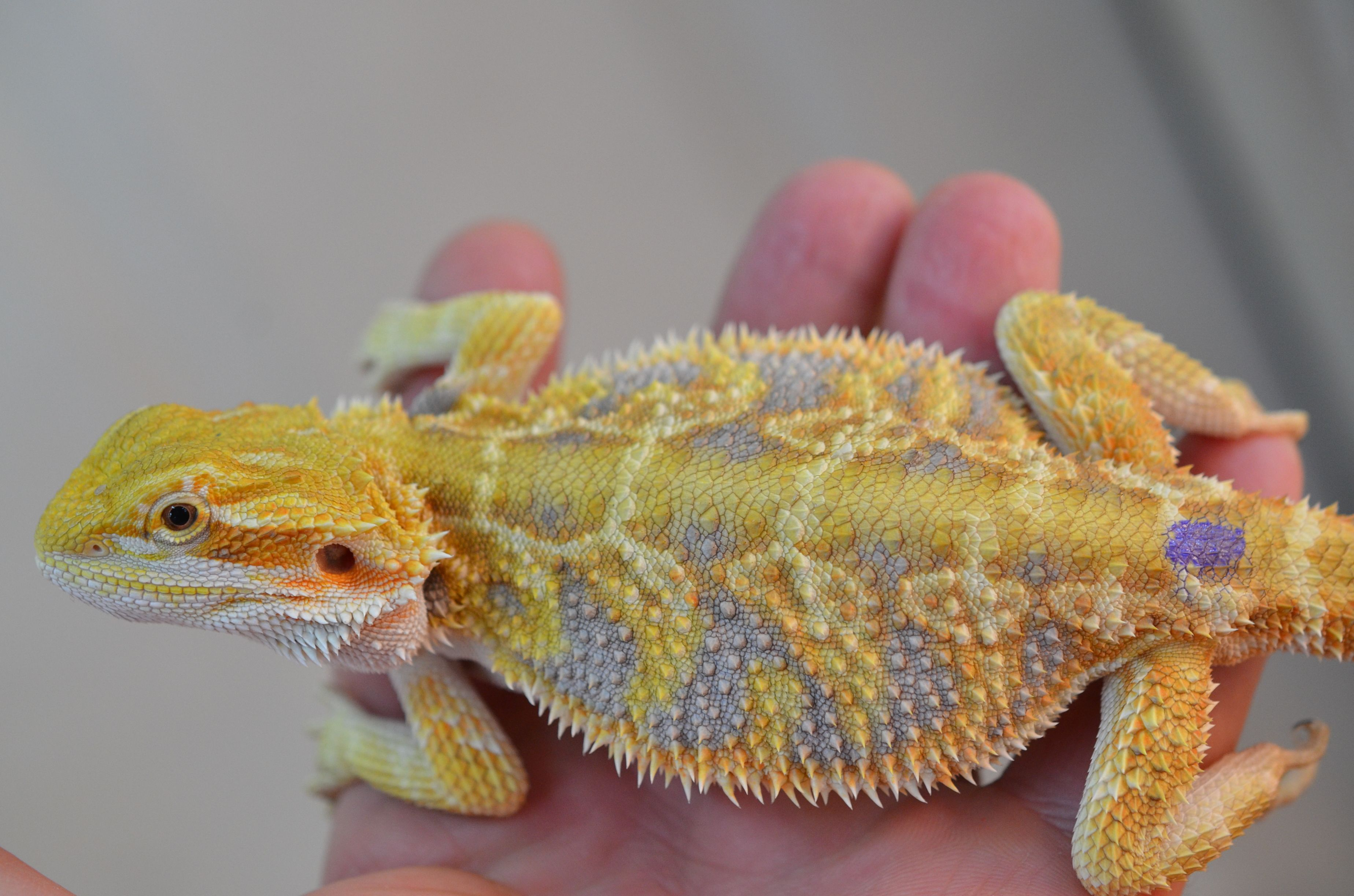 Witblit Bearded Dragon Baby | Beauty Within Clinic