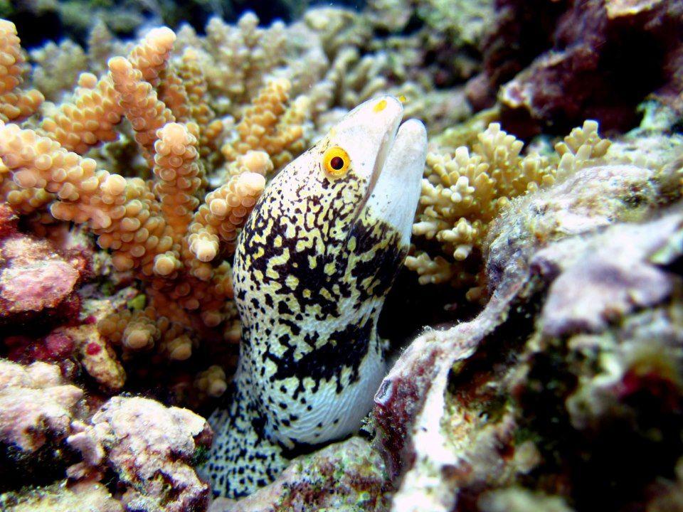 Snowflake Moray Eel Saipan Moray Eel Marine Animals Underwater Photographer