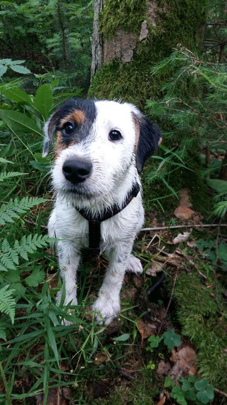 Parson Russell Terrier Parson russell terrier, Terrier
