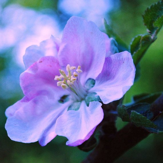 Pink Blossom  Flower  Nature photography  Fine Art by IzzyVerena, £18.50