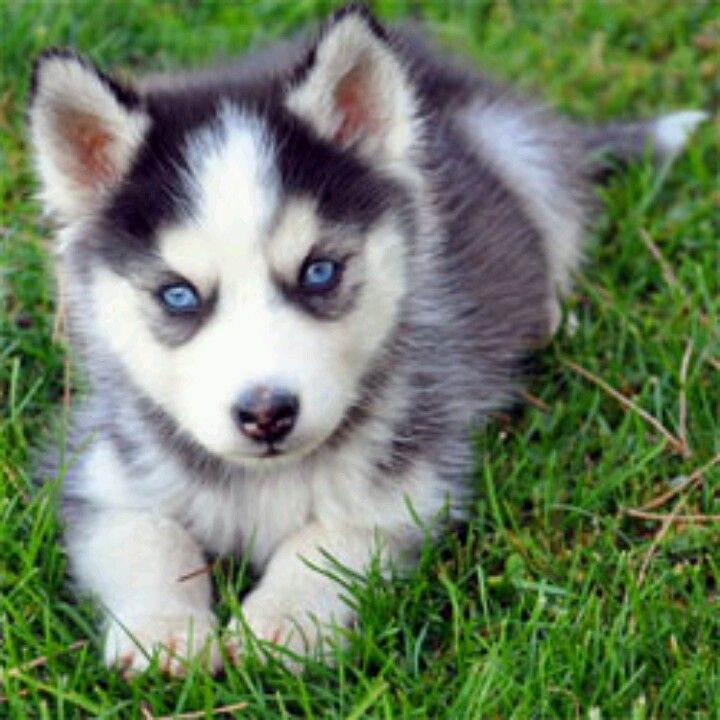 Amazing Wolf Chubby Adorable Dog - 29b55848eea72c385401cd07a2ef7ad7  You Should Have_954842  .jpg