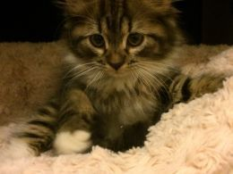 Siberian Cats And Kittens For Sale In The Uk Siberian Cats For Sale Cats And Kittens Kitten For Sale
