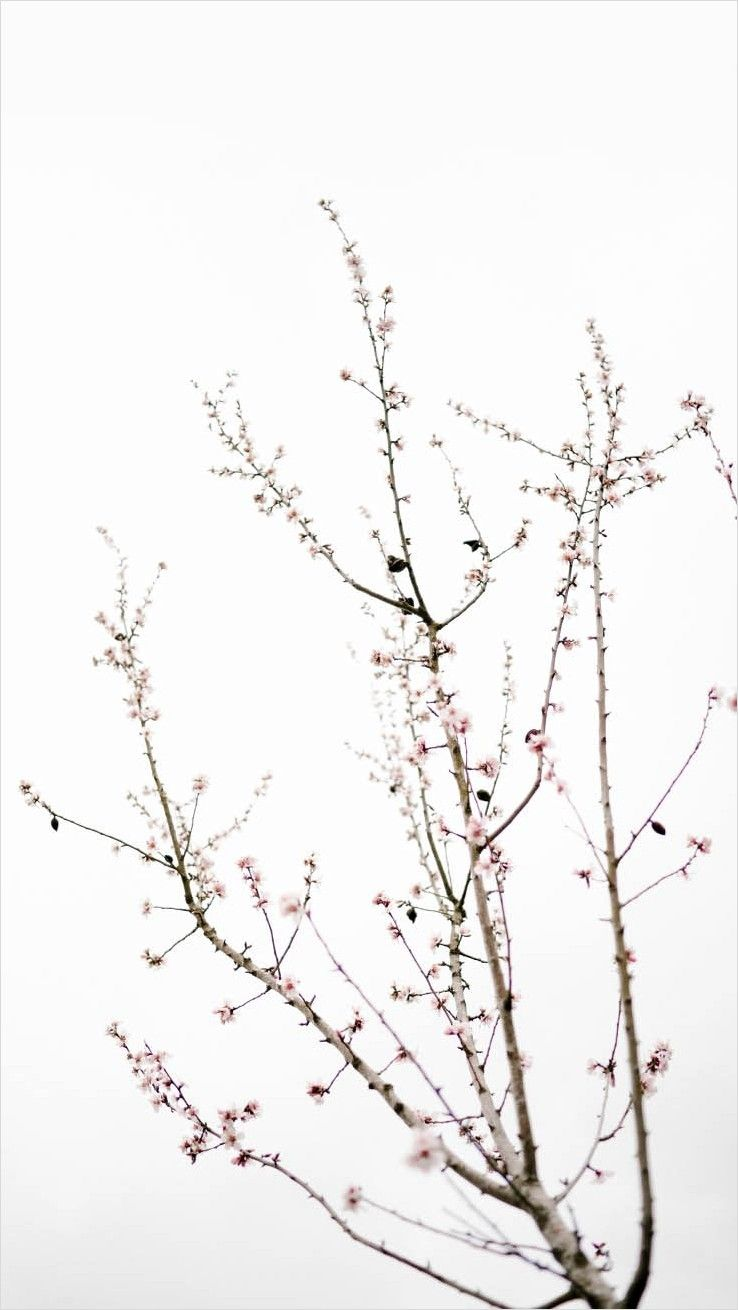 4k Cherry Blossom Wallpaper Minimalist In 2020 Cherry Blossom Wallpaper Minimal Wallpaper Aesthetic Wallpapers