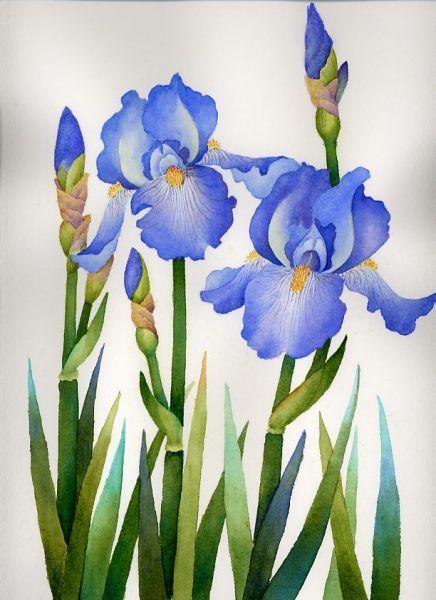 Blue Iris Iris Drawing Iris Painting Flower Drawing