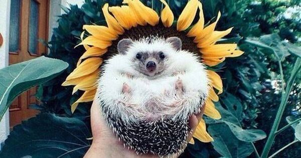 Just Pinned to Hedgehogs: http://ift.tt/2sNF9pO