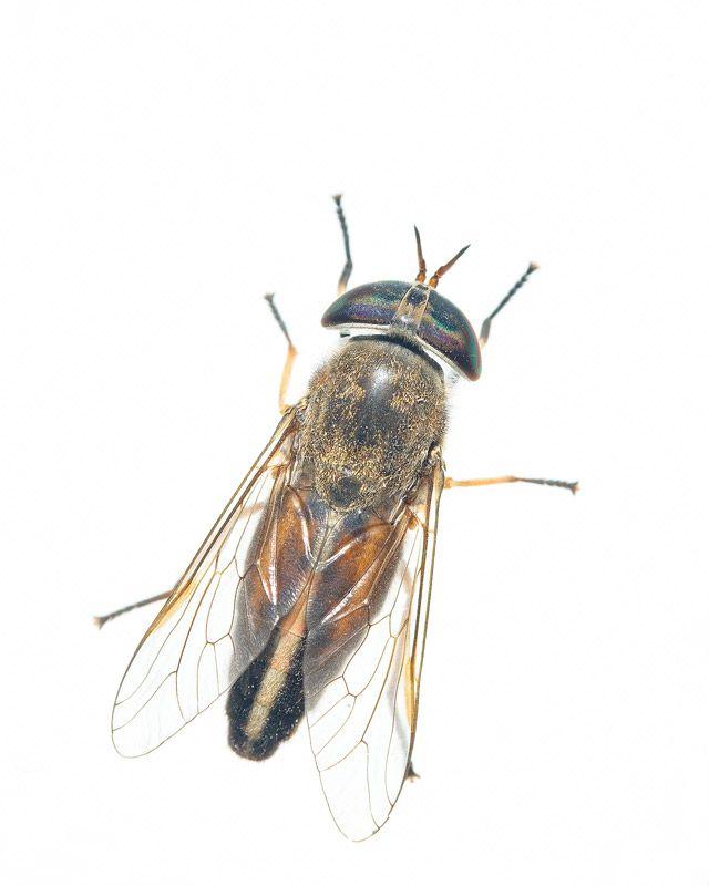 horsefly - Google Search