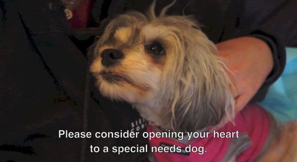 A Miracle For Tessa The Rescue Of A Havanese Who Couldn T See Walk Or Stand Blind Dog Dogs Save A Dog