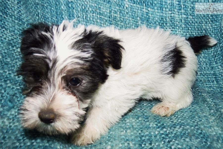Jack Russell Terrier Puppy For Sale Near Bakersfield California