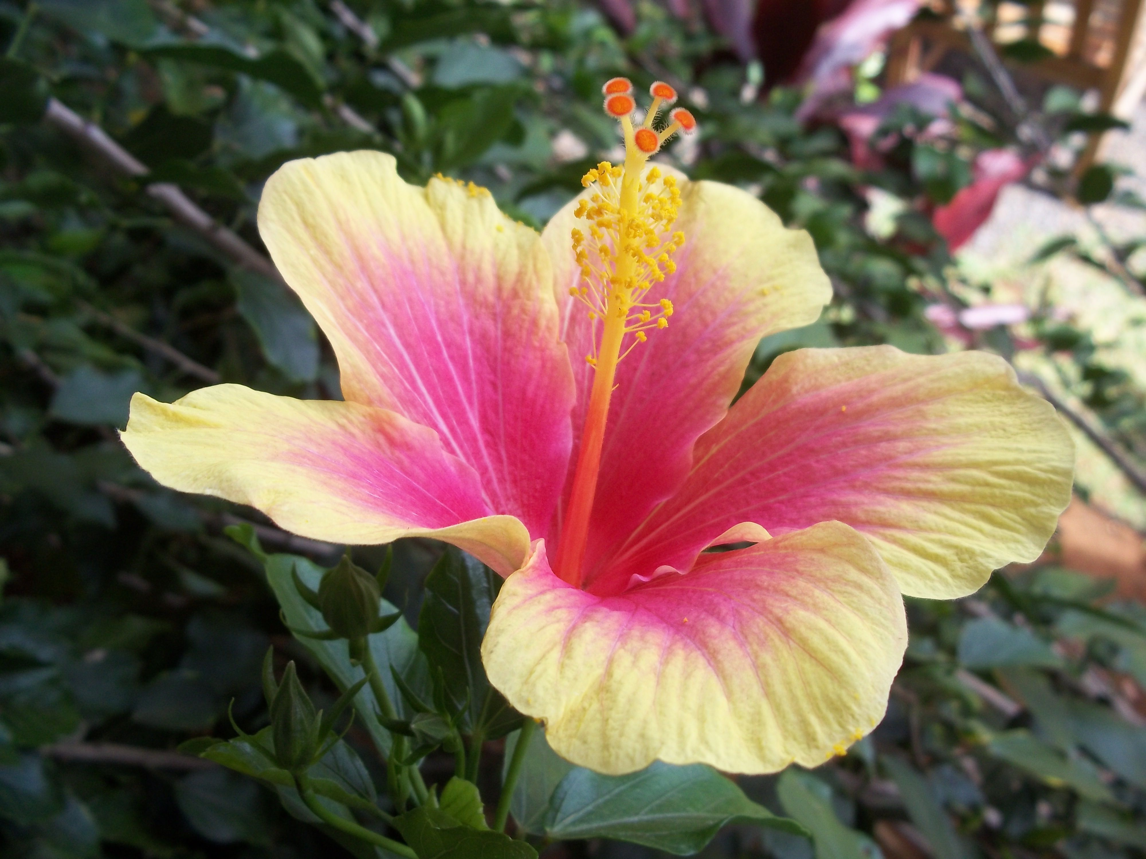 Hawaiian flower want it in blue and purple wedding pinterest hawaiian flower want it in blue and purple izmirmasajfo