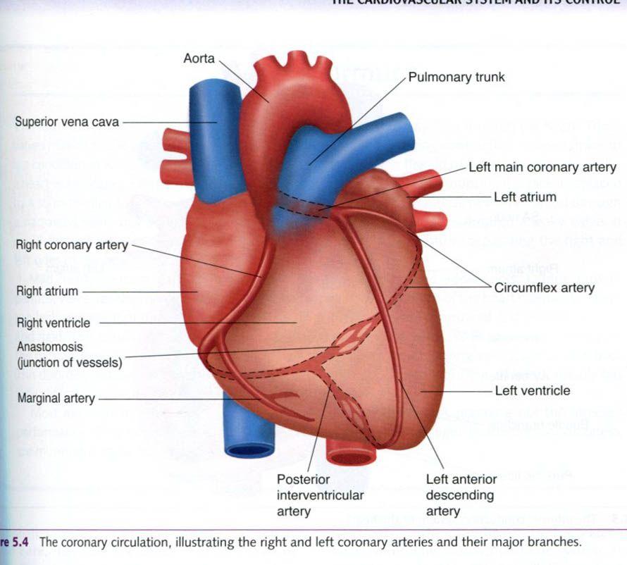 Posterior Interventricular Artery Interventricular Artery Heart