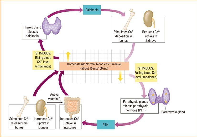 Calciumphosphate Homeostasis Mcat Pinterest Calcium. Calciumphosphate Homeostasis. Wiring. Homeostasis Diagram Of Vit D At Scoala.co