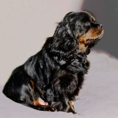 Needs A Forever Home Duchess In San Francisco Bay Area Ca Cavalier King Charles Spaniel Duchess Is Six Years Old And Was Used As A Breeder By A K