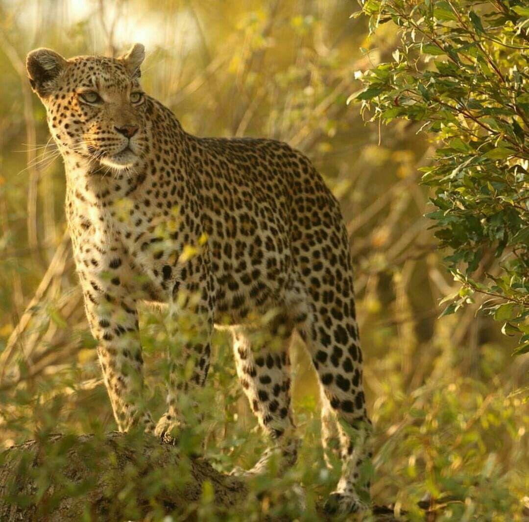четыре леопард самка картинки молитвами отца