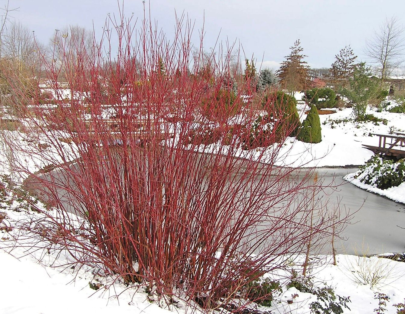Shrubs with purple flowers at end of branch - Red Twig Dogwood Plants Pinterest White Flowers Purple And Landscapes