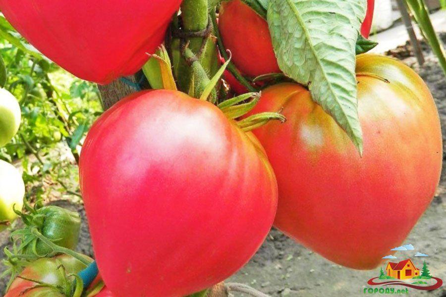 Советы кизимы по выращиванию томатов 279