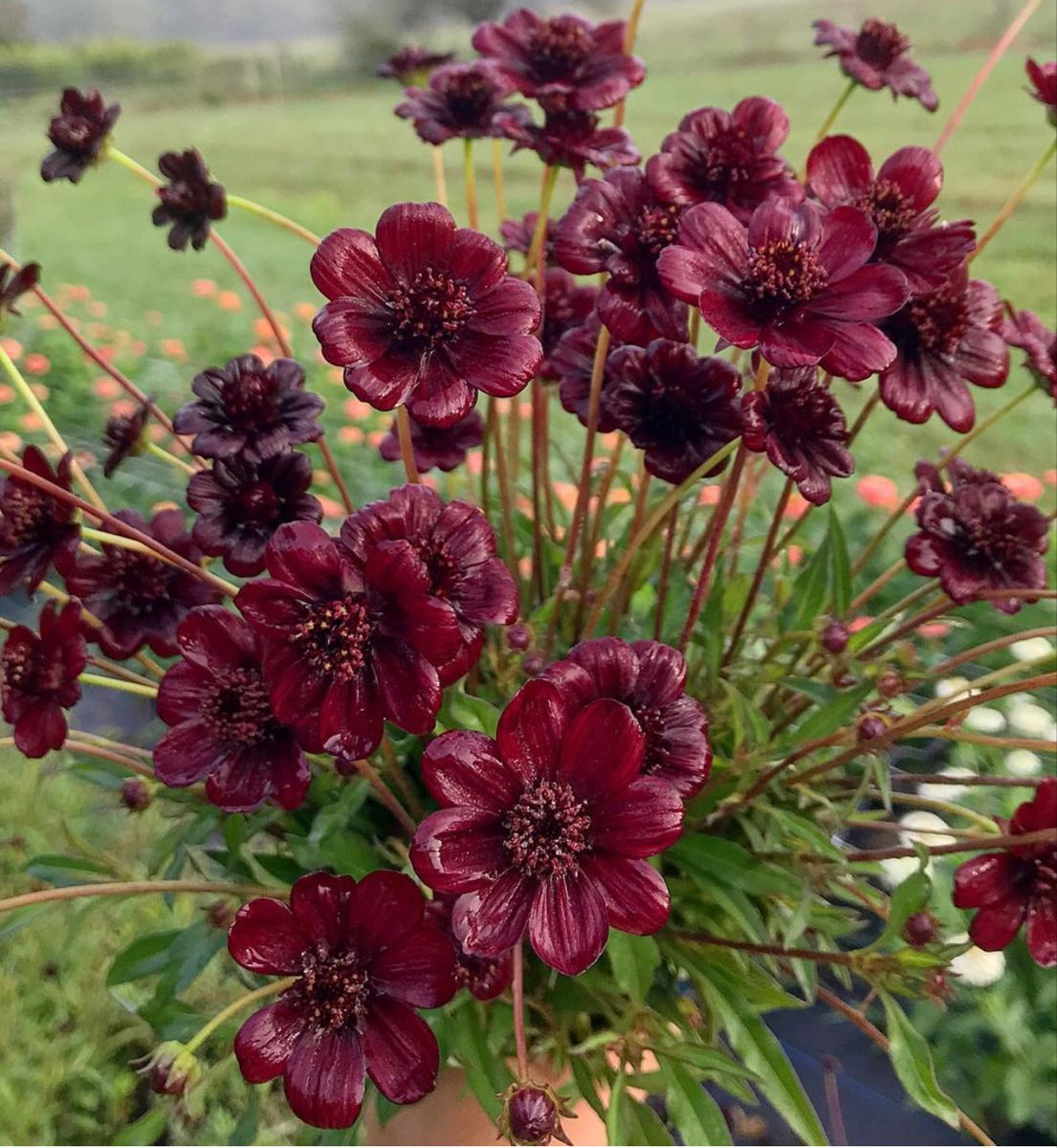 Cosmos Flower In 2020 Chocolate Cosmos Flower Chocolate Cosmos Fragrant Plant