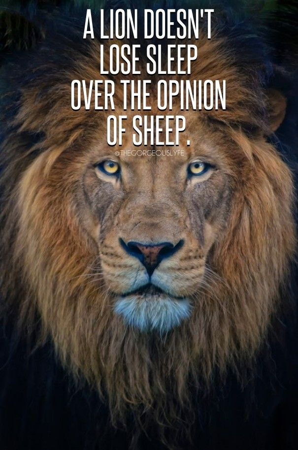 A Lion Doesn T Lose Sleep Over The Opinion Of Sheep Lion