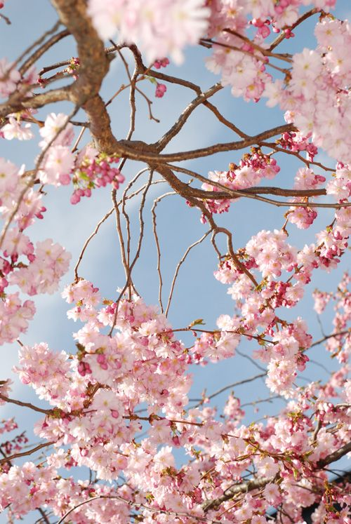 In Stockholm 06 By Macenphotos On Deviantart Nature Photography Flowers Pink Flowering Trees Tree Of Life Painting