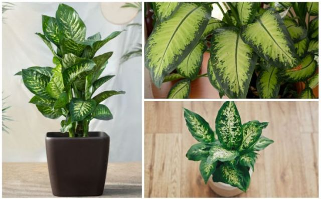 Dieffenbachia Dumb Cane Growing Guide for Dieffenbachia Dieffenbachia Dumb Cane Growing Guide for Dieffenbachia
