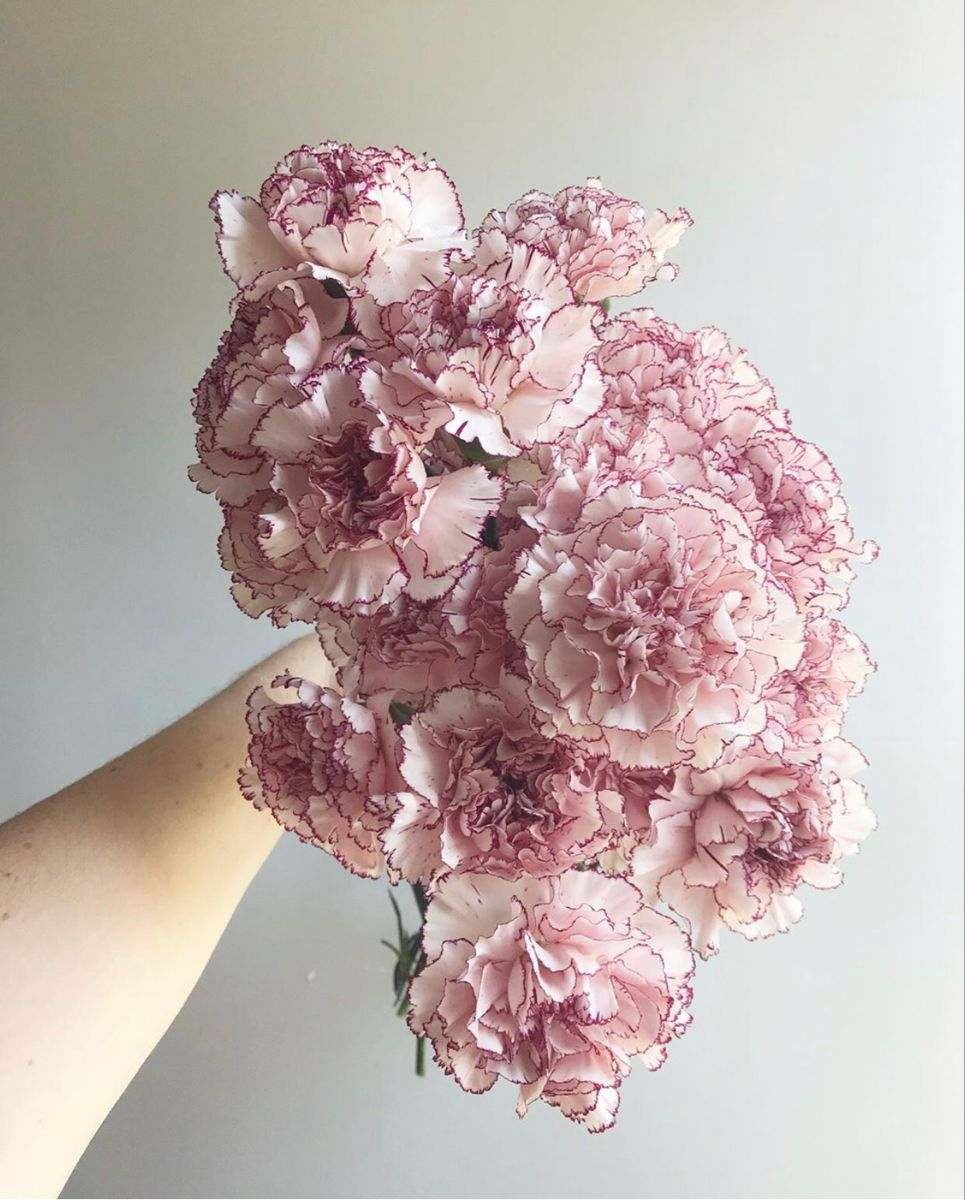 Carnations In 2020 Flowers For Sale Carnation Flower Wholesale Flowers