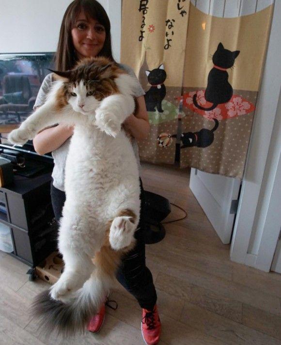 Cat おしゃれまとめの人気アイデア Pinterest Makiko Kato メインクーン 猫 メインクーン 大きい猫