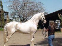 Caballo Lusitano blanco