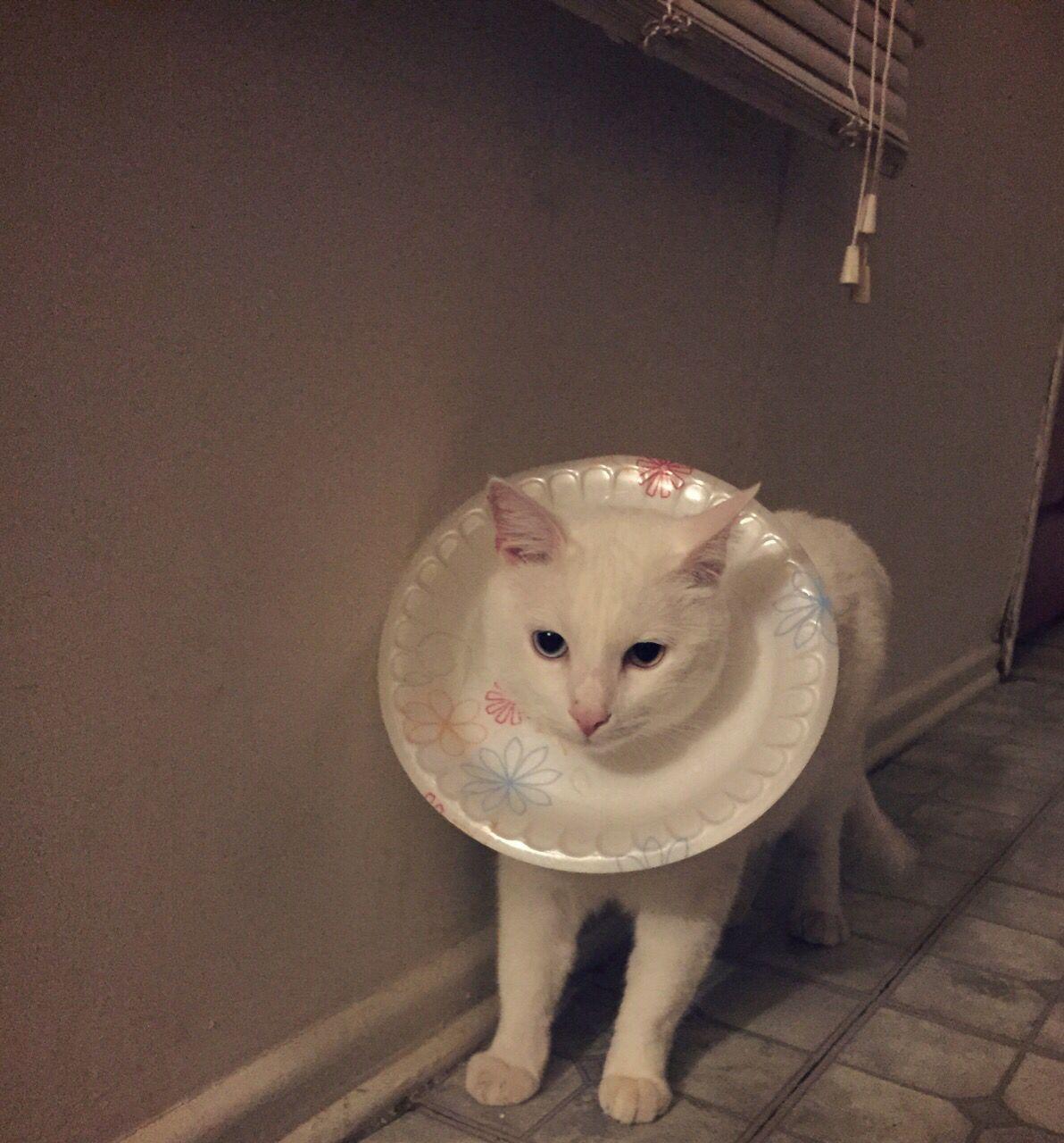 Diy Cone Collar Lol Cat Diy Cone Collar Cats Meow