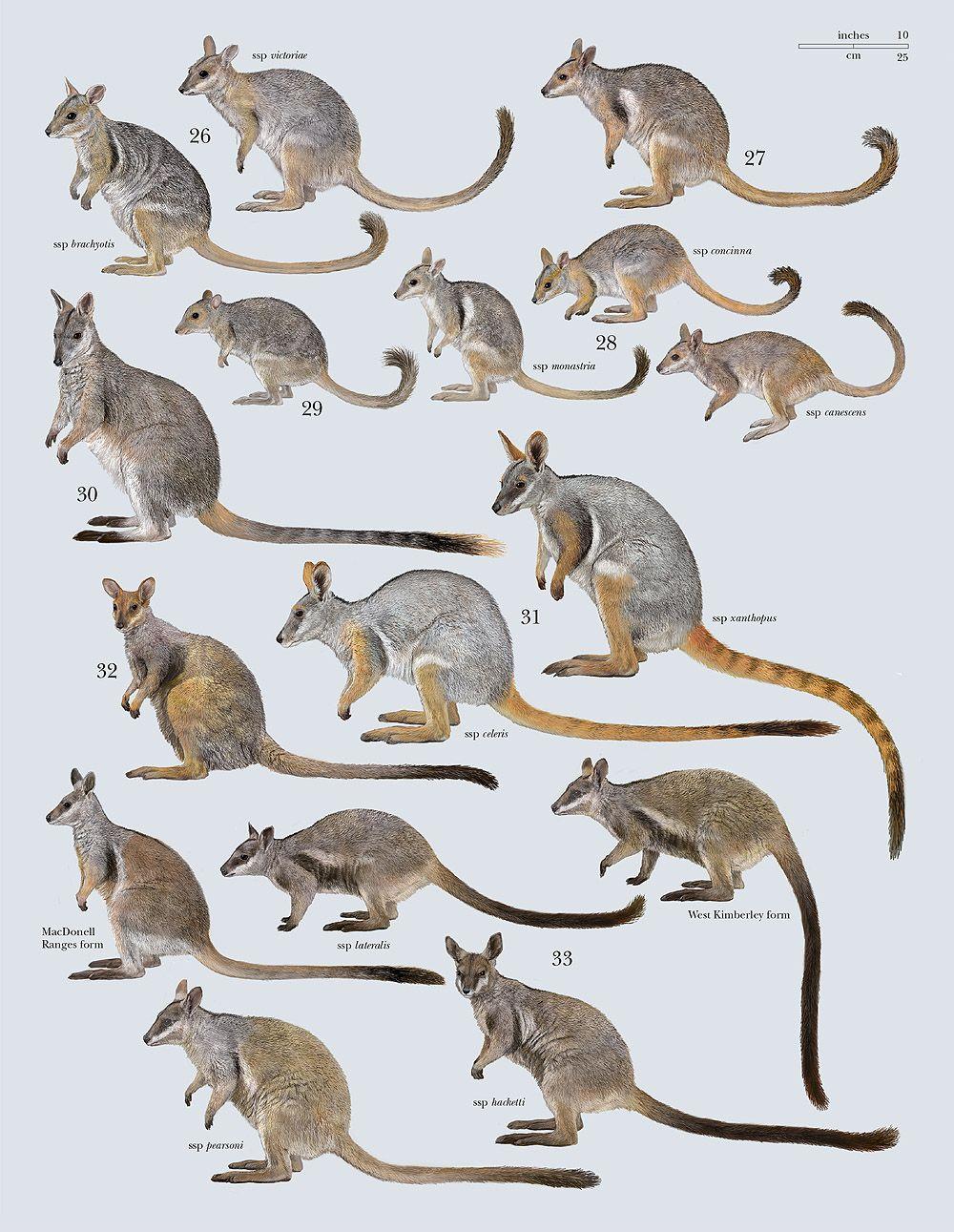 Family Macropodidae (Kangaroos and Wallabies) | posters | Pinterest ...