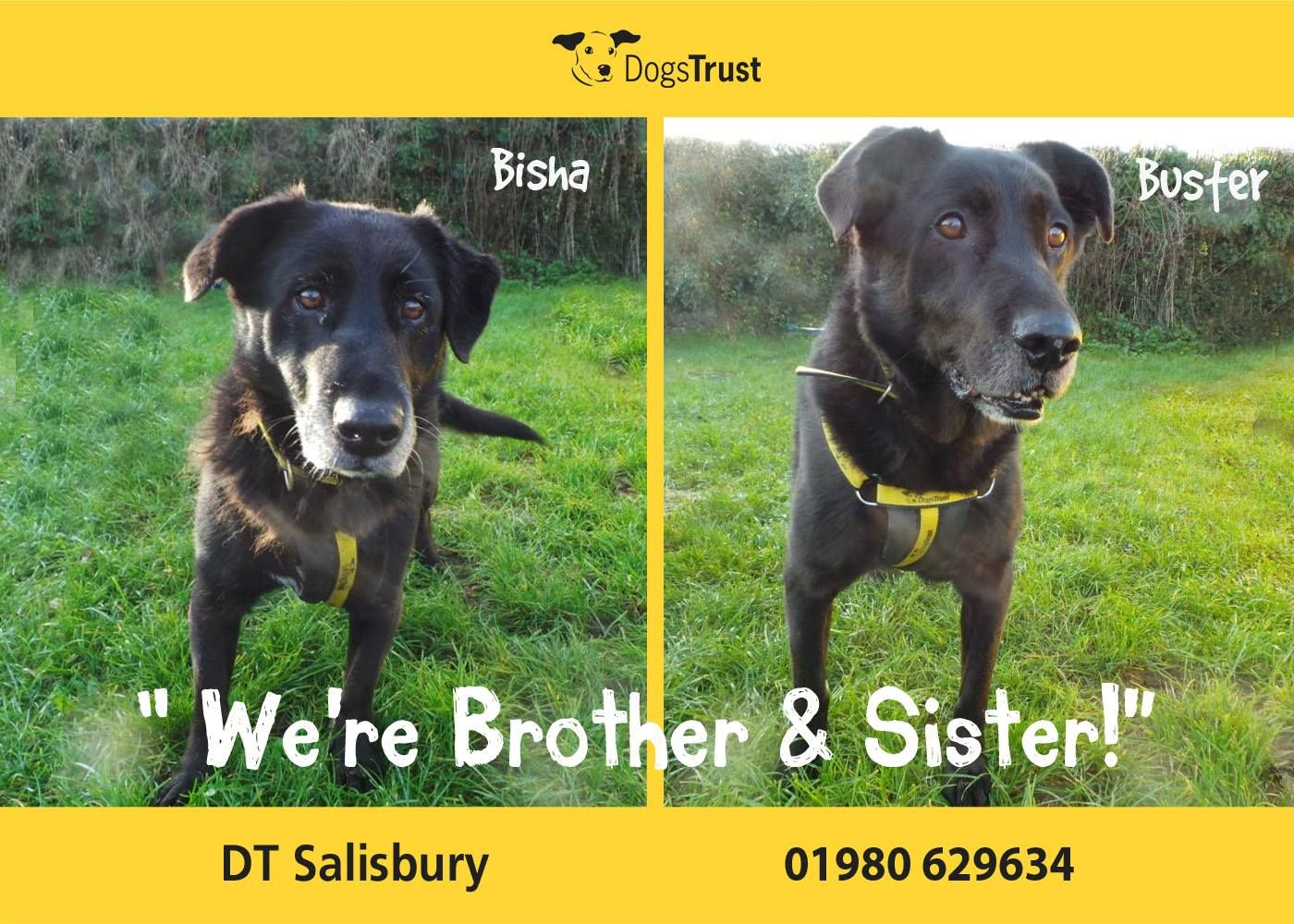 Buster And Bisha Are 9 Year Old Labrador Cross From Dogs Trust