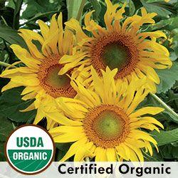 Tarahumara Sunflower Sunflower Organic Seeds Growing Food