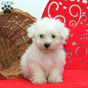 Bichon Frise Puppies For Sale Greenfield Puppies Bichon Frise Puppy Bichon Frise Dogs Bichon Frise