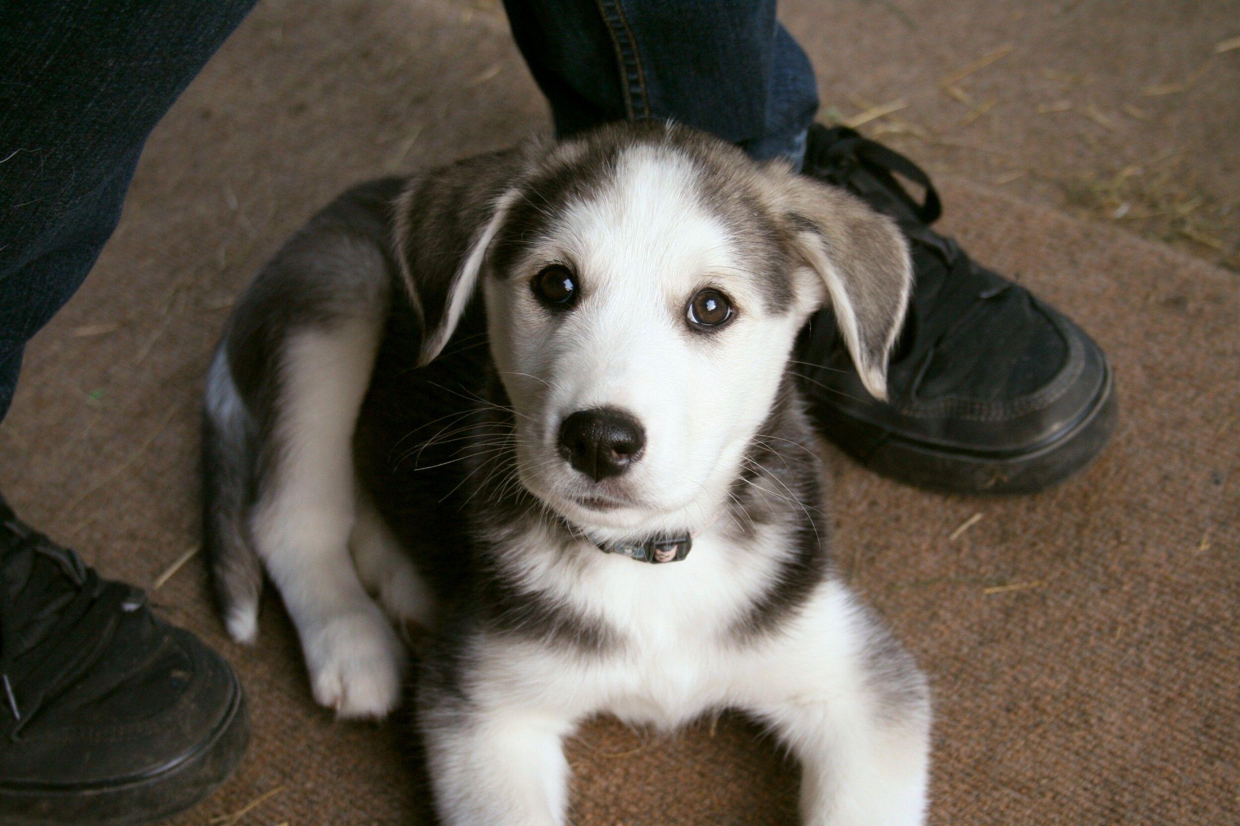That Face Husky X Golden Retriever Puppy Puppies Kitties