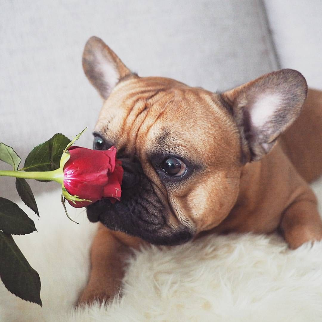 Wow That Smells Nice A French Bulldog And A Red Rose For