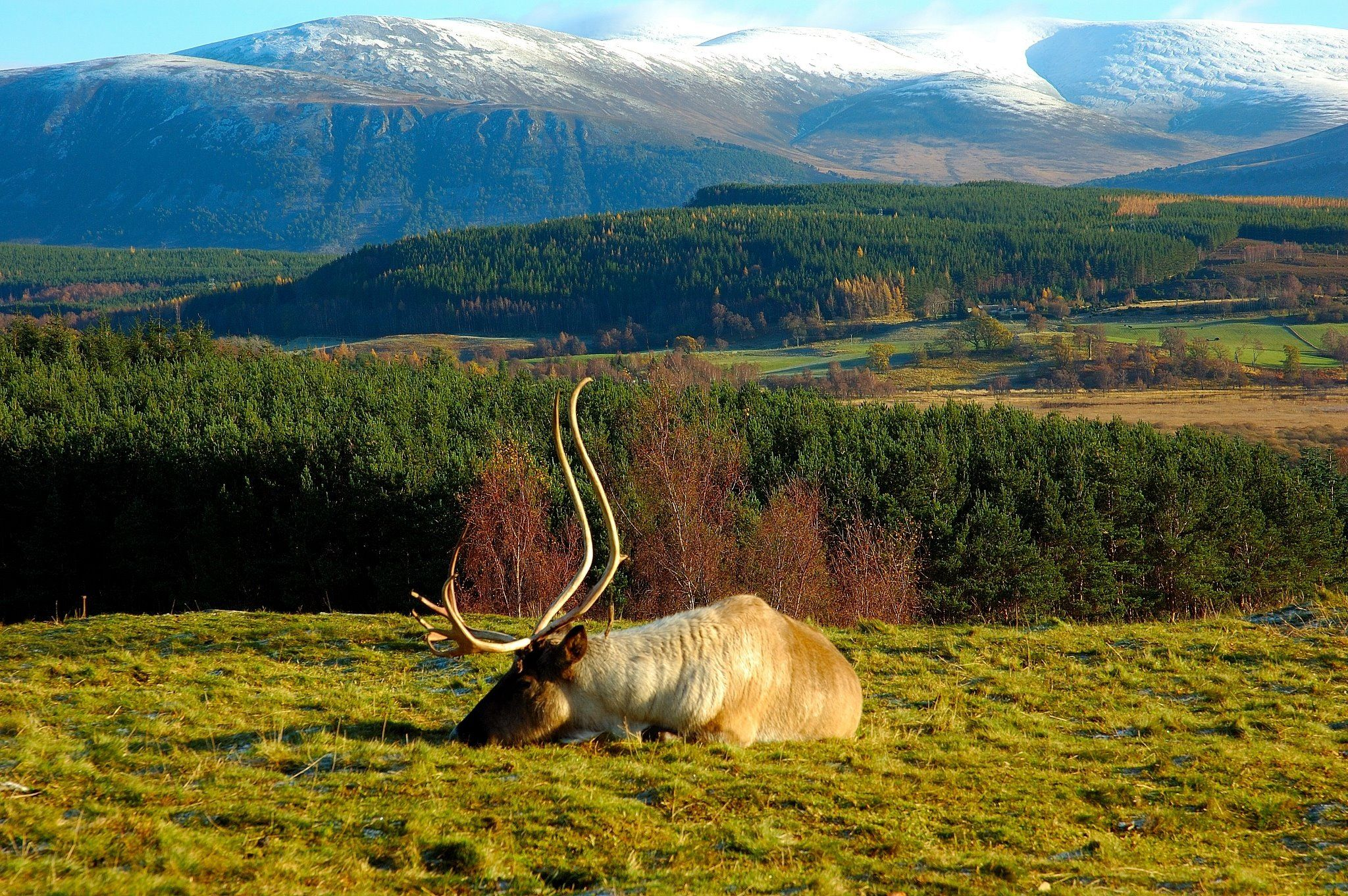 Scottish deer in the Highlands.