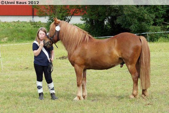 Nordland Horse / Lyngen Horse - gelding Sørgards Jo