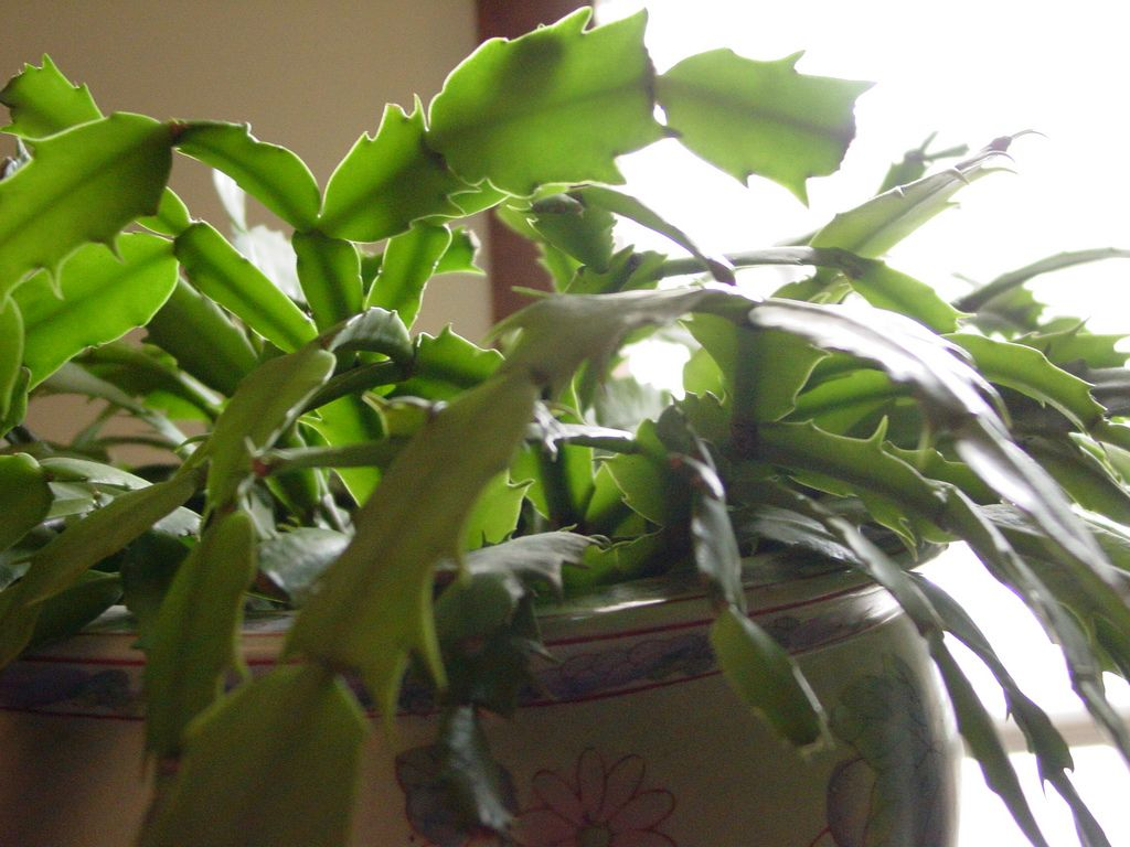 It Isn T Always Easy To Determine What Causes Leaves Dropping From Christmas Cactus But There Are A Christmas Cactus Plant Christmas Cactus Care Cactus Leaves