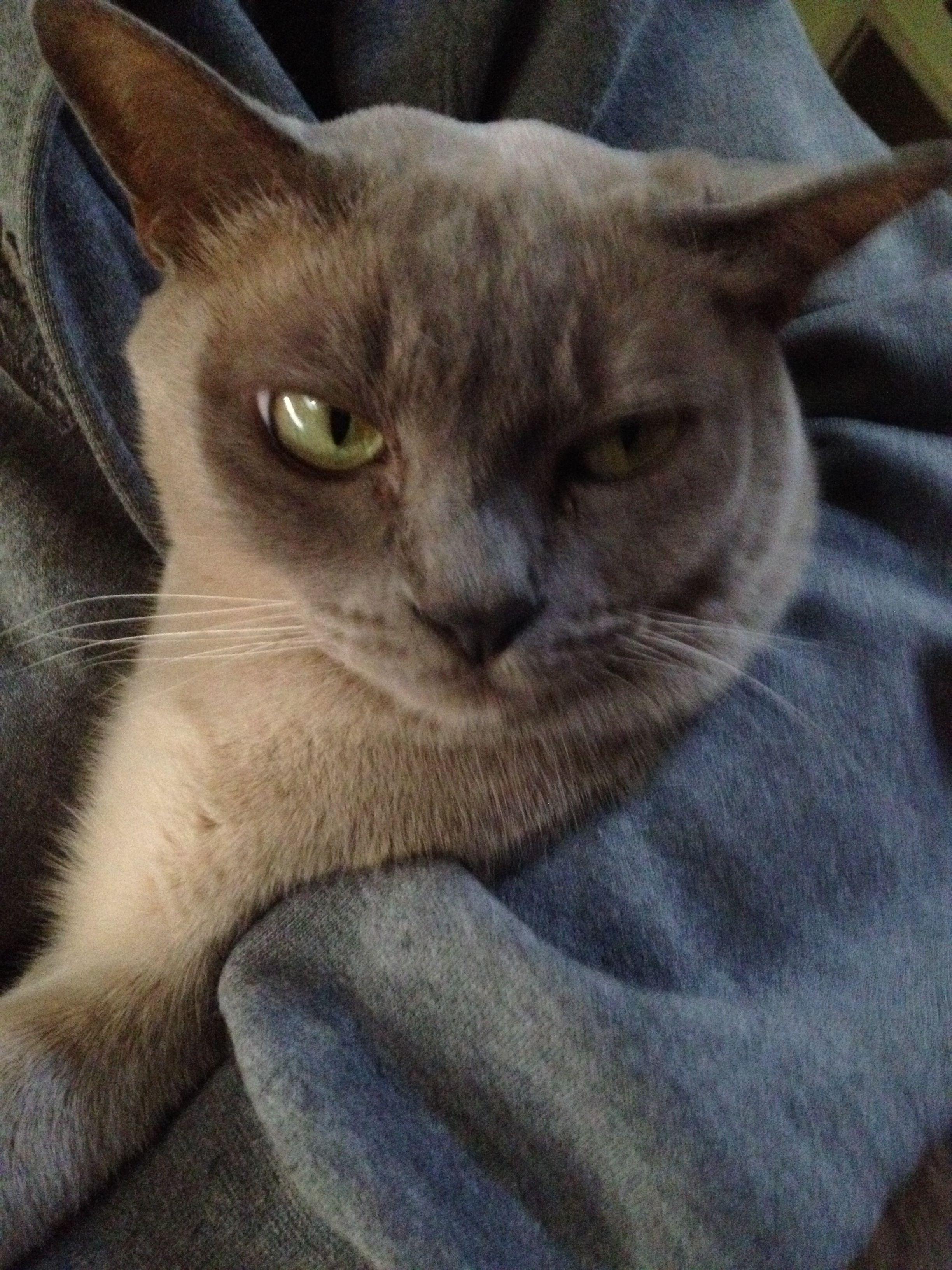 Our Burmese cat, Princess Crystal Pickle Burmese cat