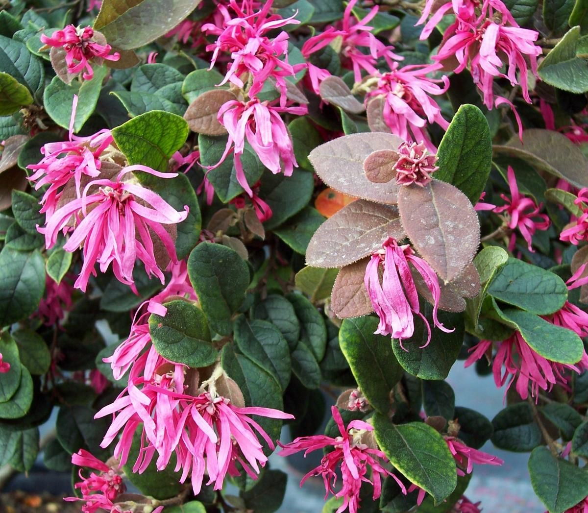 Picture of Live Fringe Shrub aka Loropetalum chin. 'Blush' Plant Fit 5 Gallon Pot