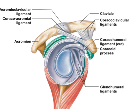 glenohumeral ligament - Google Search | Medical: Photography ...