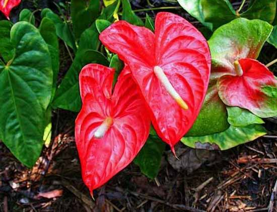 Heart Shaped Plants Romantic And Eco Friendly Mothers Day Gift Ideas Hawaiian Plants Anthurium Plants