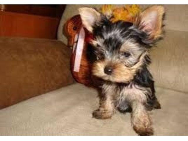 Lovelyyorkiepuppiesforsale Yorkie Puppy For Sale Puppy Adoption Yorkie Puppy