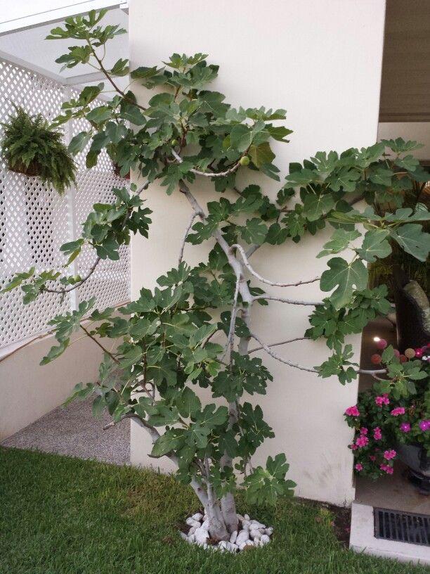 higuera fig tree fig tree grape