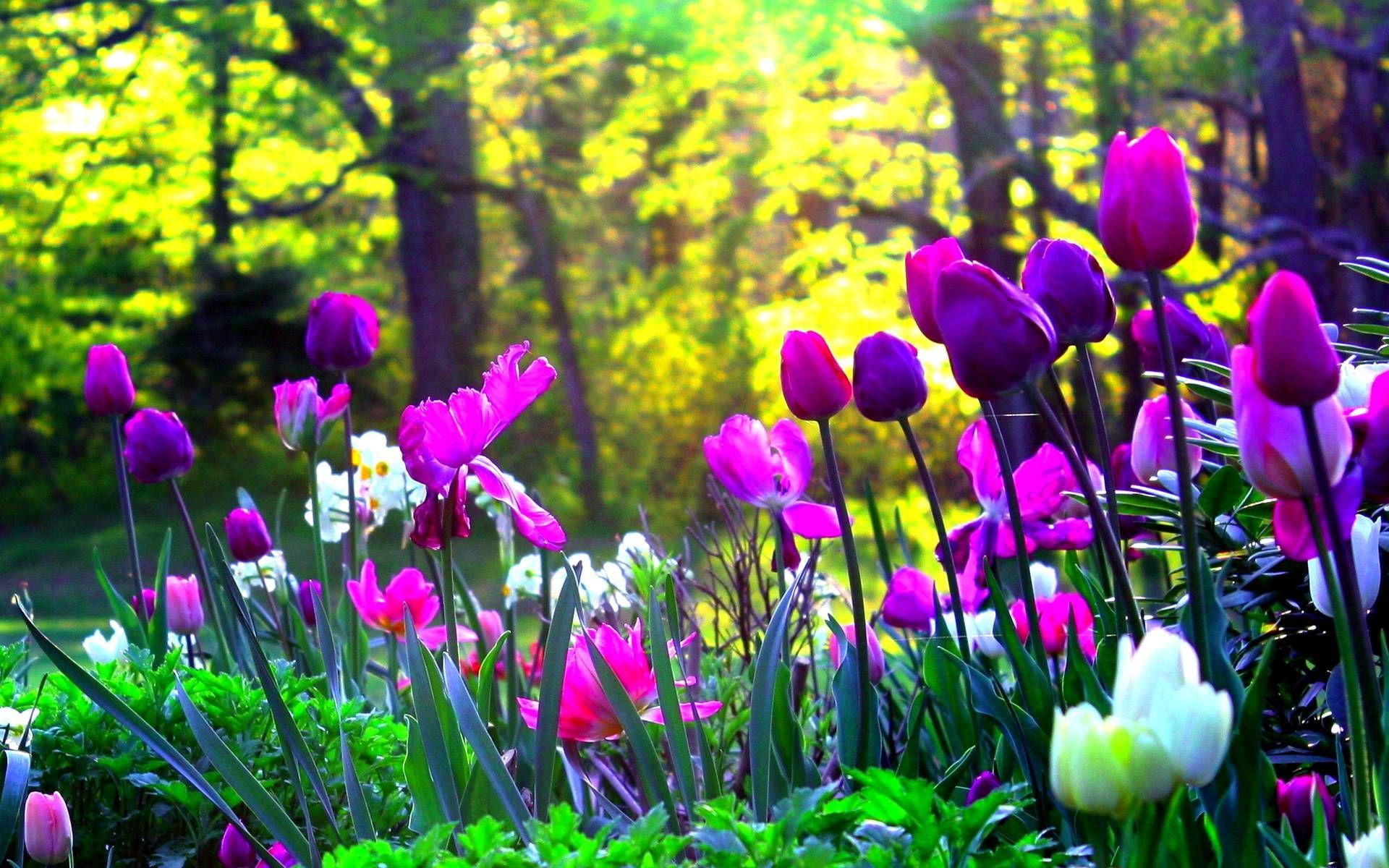 Purple Yellow Red Tulips Wooden Background Spring Pictures Wallpaper Desktop Laptop Comp Spring Wallpaper Spring Flowers Background Beautiful Scenery Wallpaper