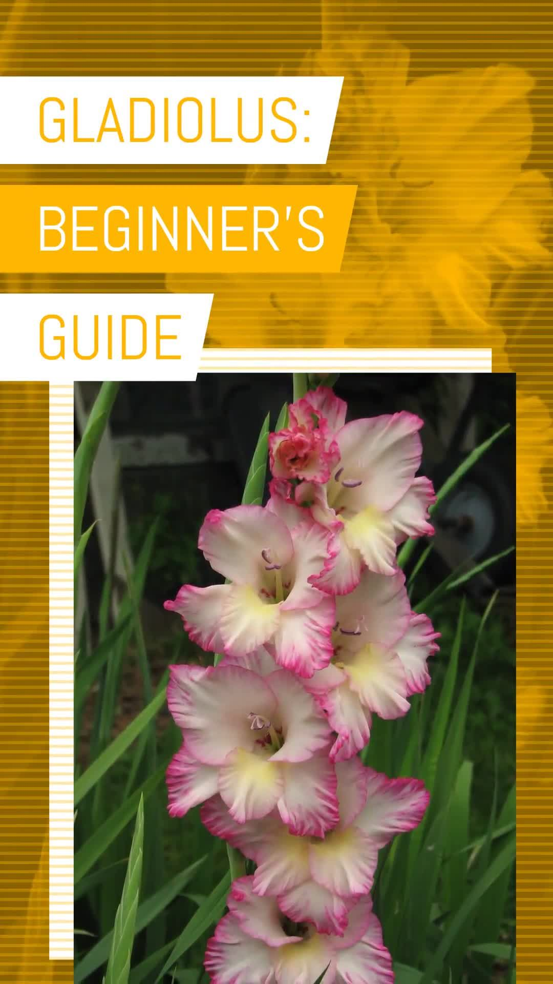 Gladiolus Beginner S Guide Video In 2020 Gladiolus Flower Care Gardening For Beginners