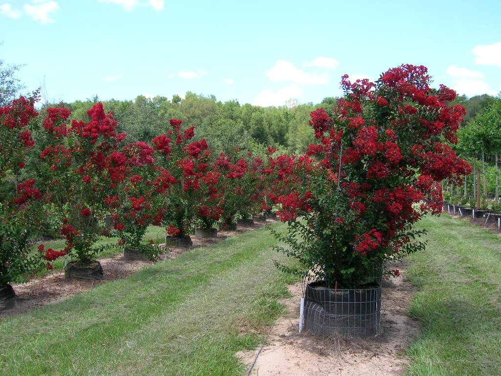 Redcrepemyrtletrees sharp tree farms photo gallery this is a crepe myrtle red rocket dont confuse this beautiful tree with the standard red crepe myrtle the red rocket will not get as tall nvjuhfo Choice Image