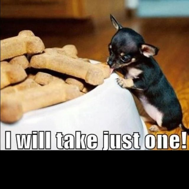 Cute Baby Chihuahua Cute Animals Pets Funny Dog Pictures