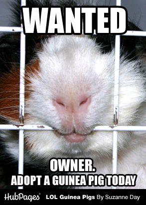 Pin On Guinea Pig Memes Humor