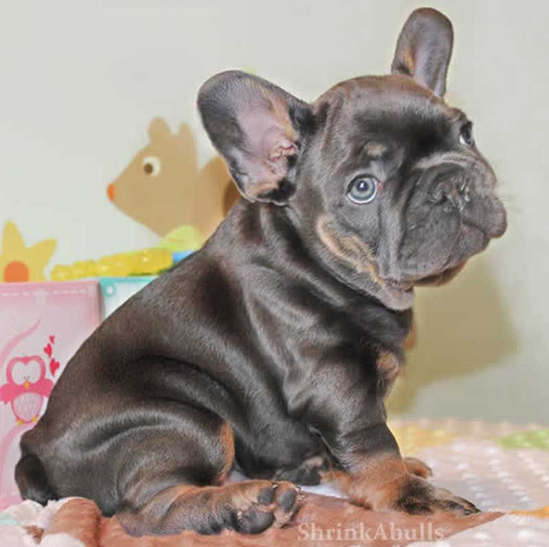 Chocolate French Bulldog Sitting Cute French Bulldog French Bulldog
