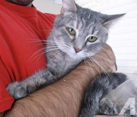 Tabby Grey Momma Mouser Large Adult Female Cat Grey