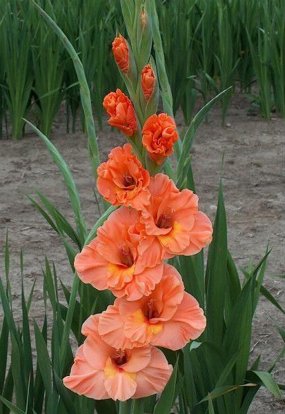 Gladiolus Catharina Compost Rules Beautiful Flowers Gladiolus Flower Flowers
